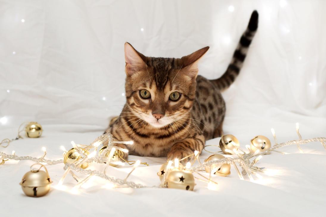 Festive Bengal Kitten Stock 3 by FurLined