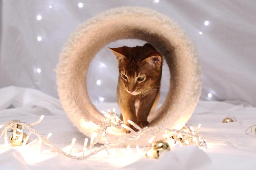 Festive Abyssinian Kitten Stock 2 by FurLined
