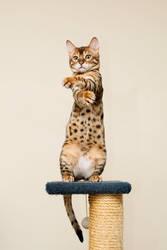 Upright Bengal Kitten Stock 2