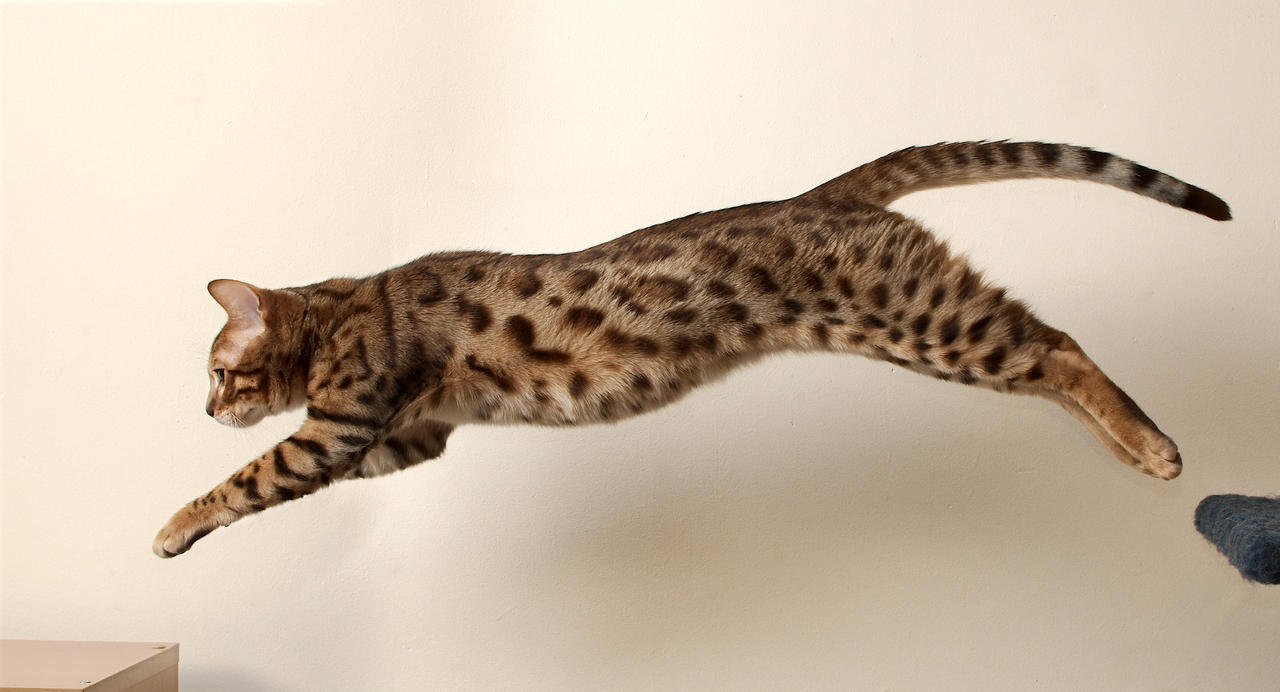 Bengal Kitten Leap 4 by FurLined