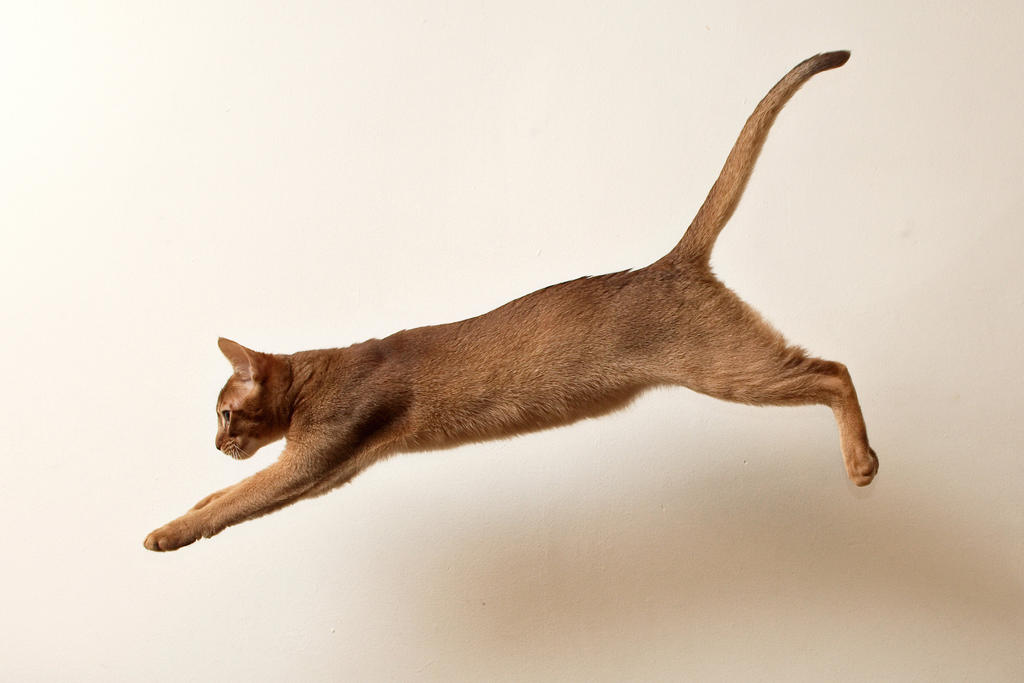 Abyssinian Kitten Leap 1 by FurLined