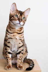 Sitting Bengal Kitten Stock 1 by FurLined