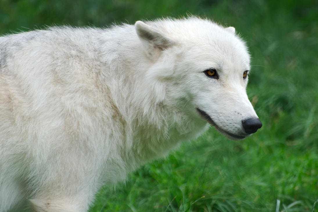 Arctic Wolf Cub 20120827-1 by FurLined
