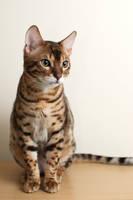 Sitting Bengal Kitten Stock 2 by FurLined
