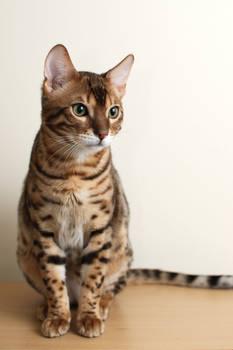 Sitting Bengal Kitten Stock 2