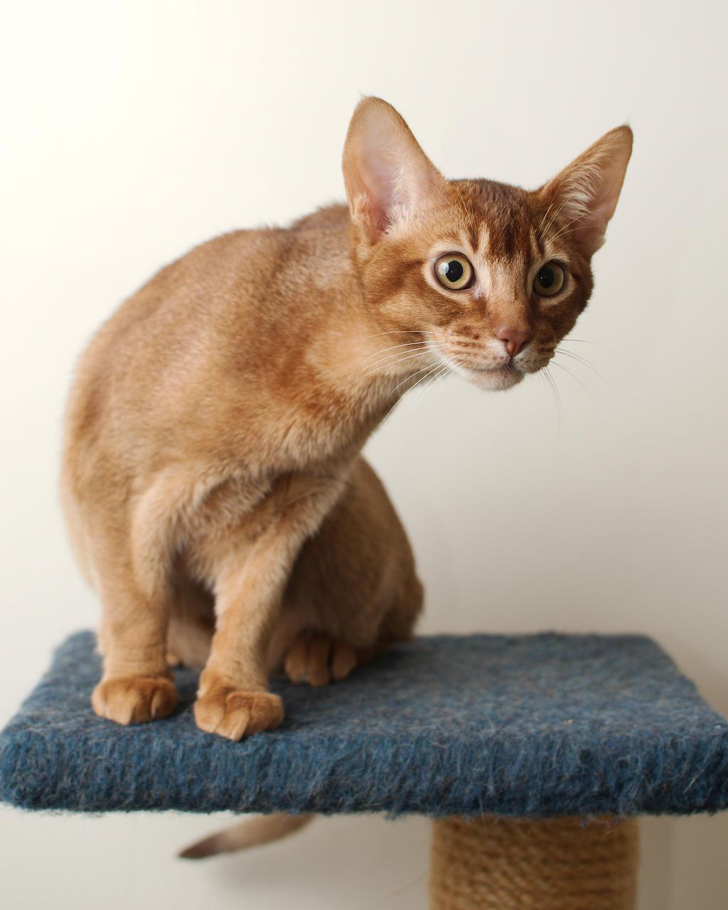 Abyssinian Kitten 20121227-2 by FurLined
