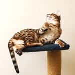 Bengal Kitten Lounging Stock 1