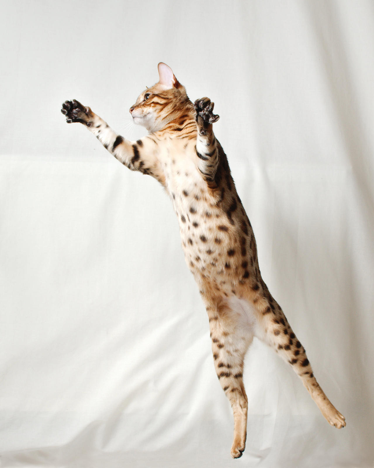 Bengal Kitten Vertical Leap 2 by FurLined