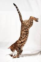 Bengal Kitten Drop Pounce 1 by FurLined