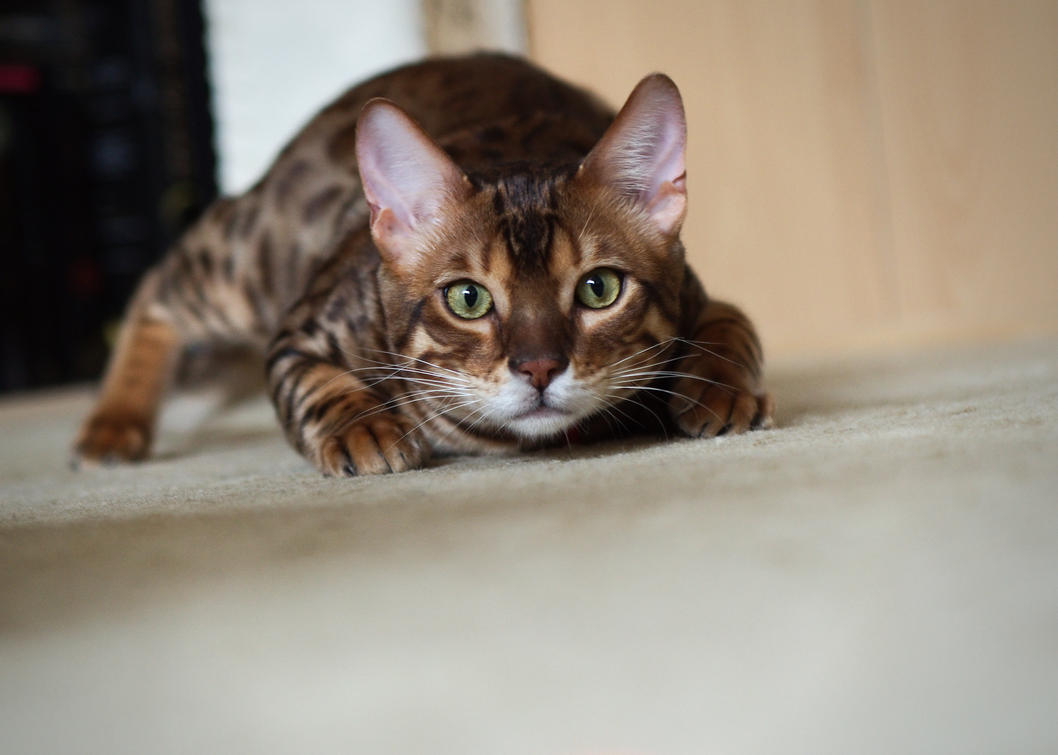 Bengal Kitten Ready To Pounce Stock 1 by FurLined