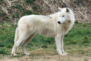 Arctic Wolf 20130401-1 by FurLined