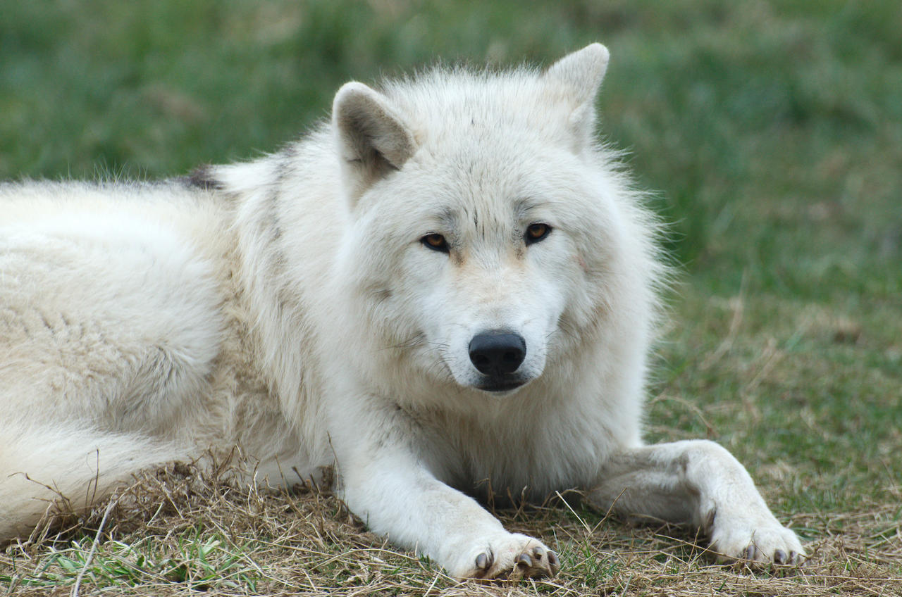 Arctic Wolf 20130401-3 by FurLined