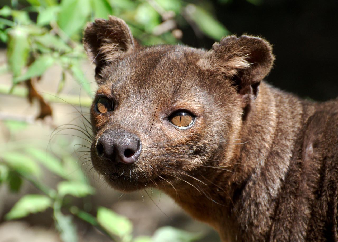 Fossa 20130604-1 by FurLined