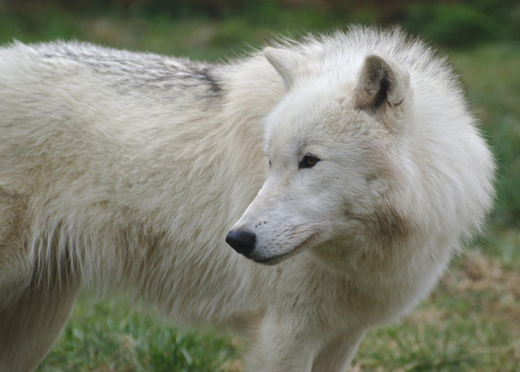 Arctic Wolf 20130401-5 by FurLined