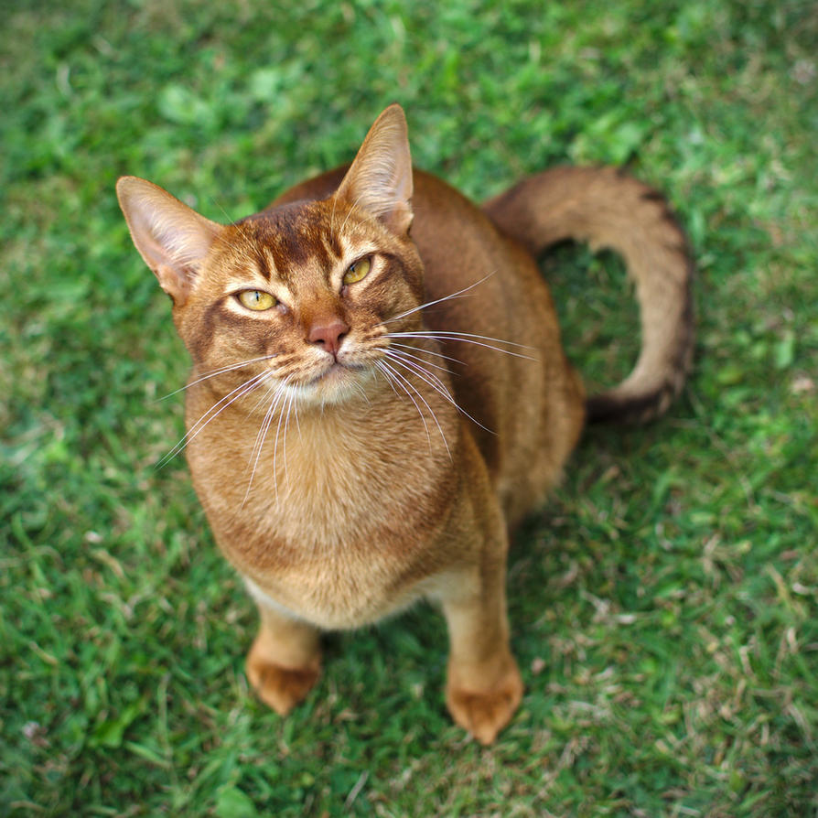 Abyssinian Cat Looking Up Stock 1 by FurLined