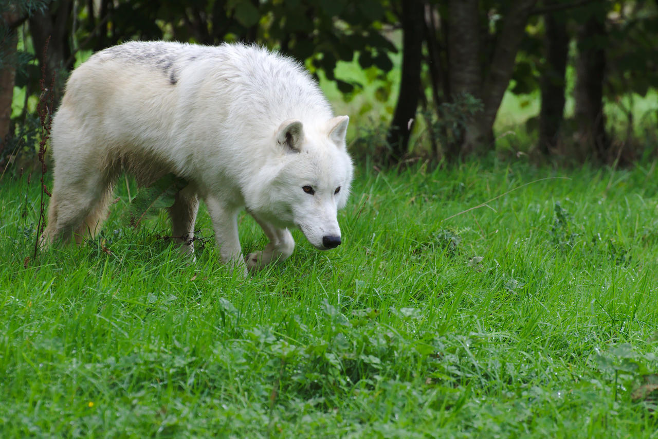 Arctic Wolf 20131017-1 by FurLined
