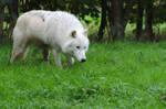 Arctic Wolf 20131017-1