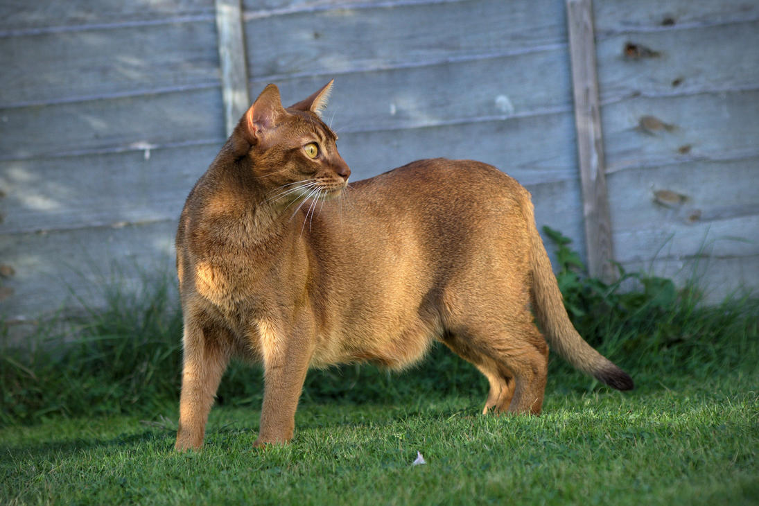 Abyssinian Cat Standing Side View Stock 1 by FurLined