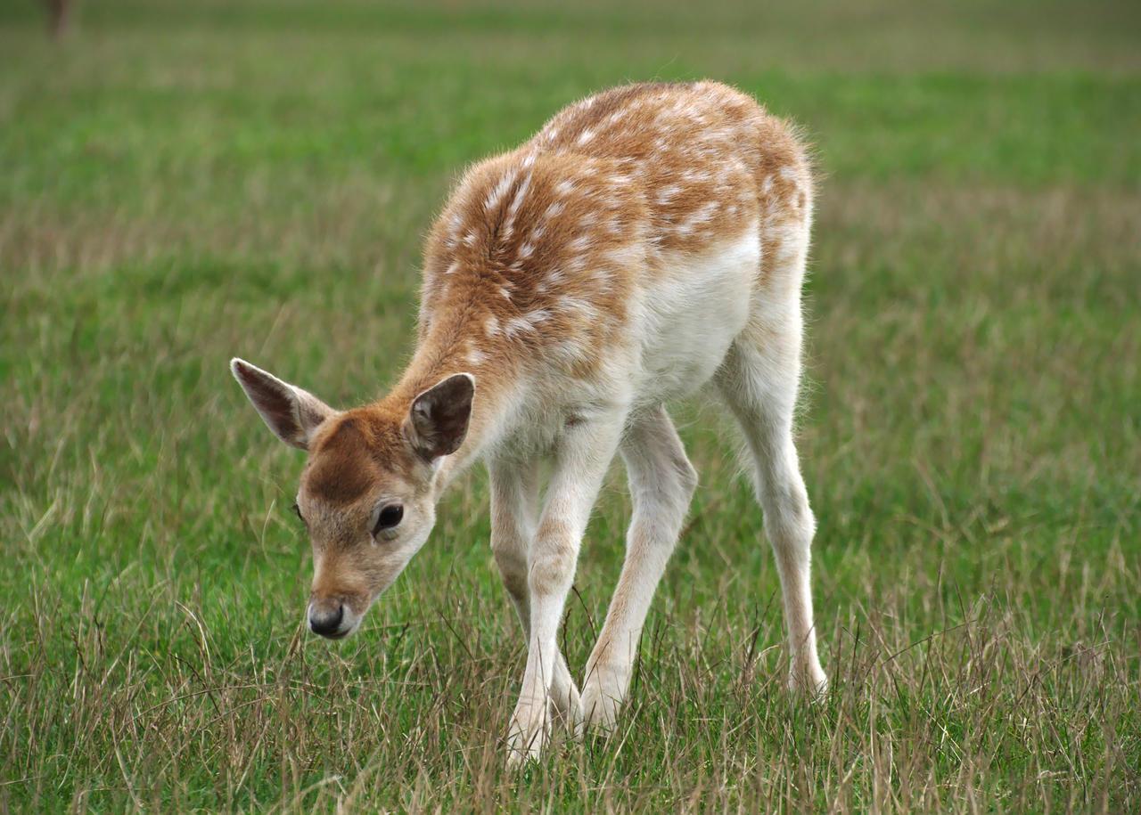 deer wallpaper uk
