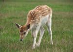 Young Fallow Deer Stock