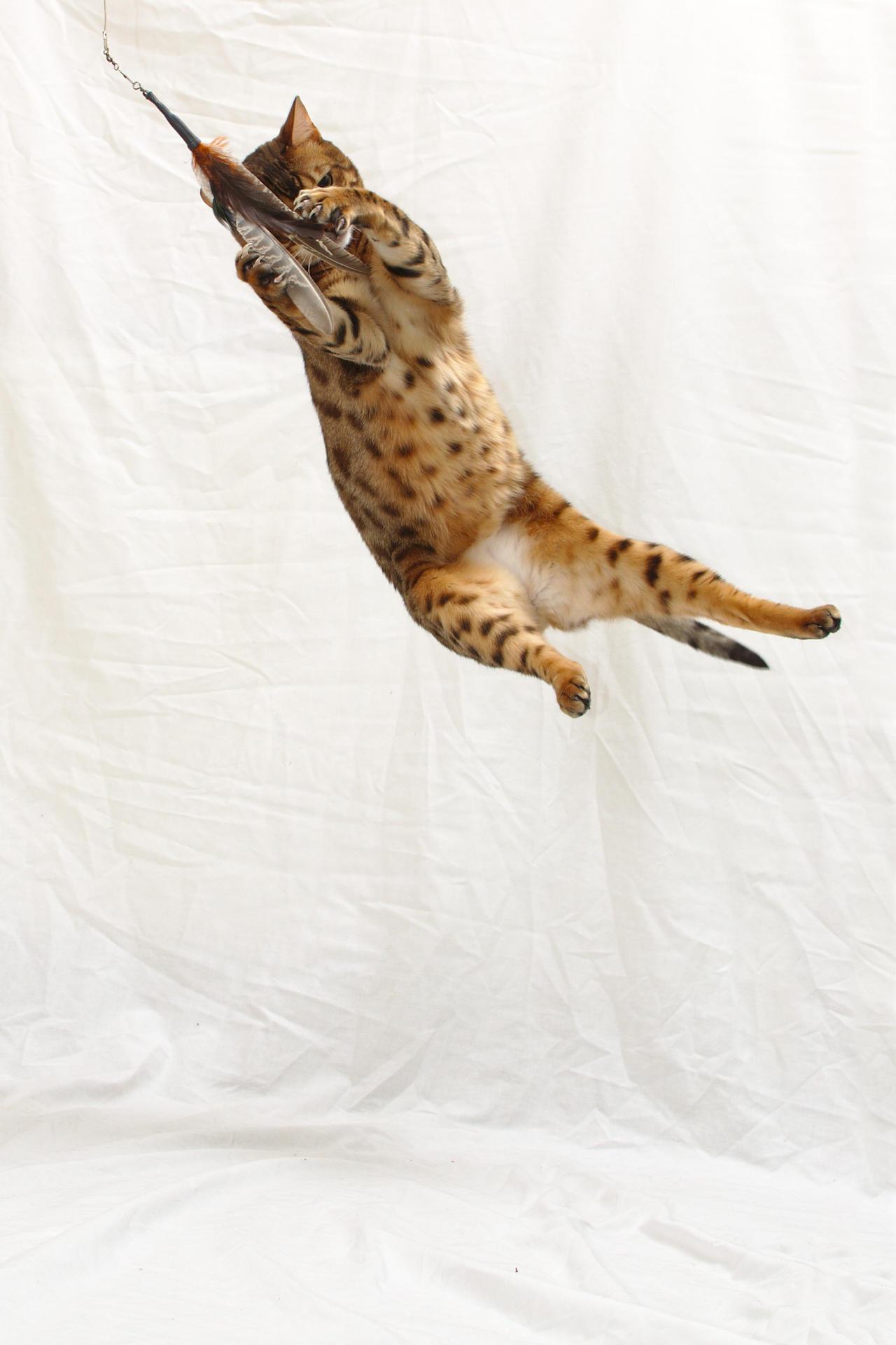 Bengal Cat Rescue Colorado