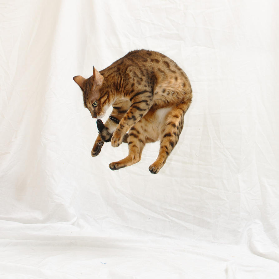 Bengal Mid-Air 20141130-2 by FurLined