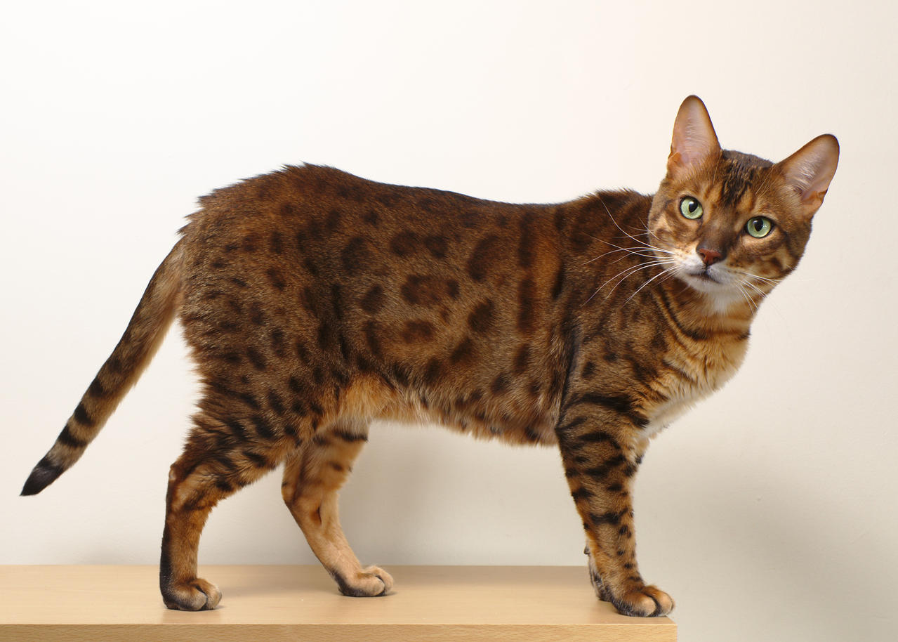 Bengal Cats For Sale In St Louis Missouri