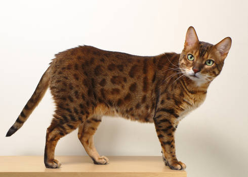 Bengal Cat Side Stock 20150125-1