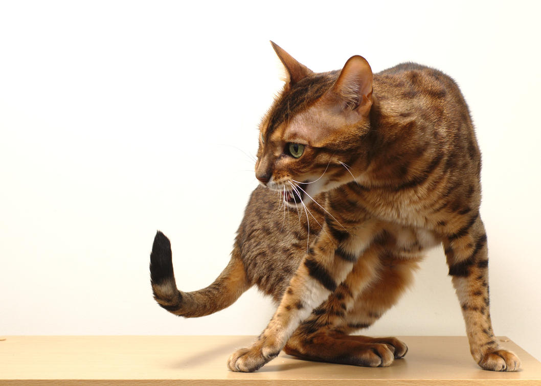 Turning, Shouting, Bengal Cat Stock by FurLined