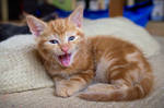 Yawning Ginger Tabby Kitten