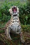 Amur Leopard 20150713-1