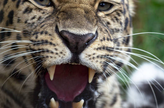 Leopard Breath