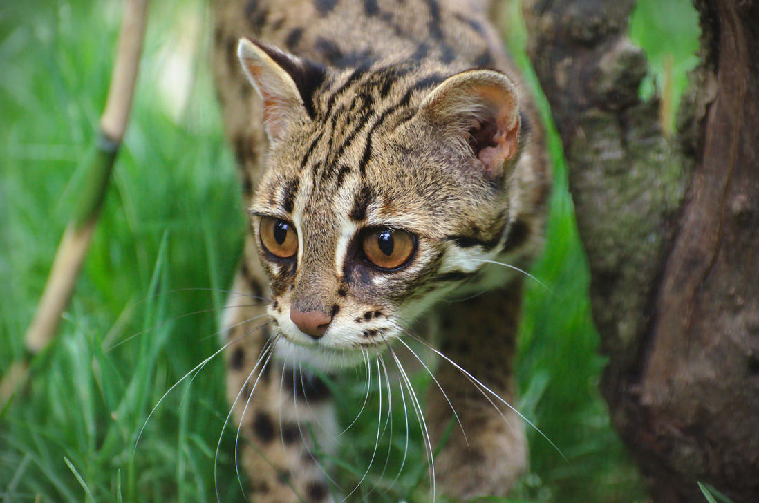 Leopard Cat 20150713-1 by FurLined