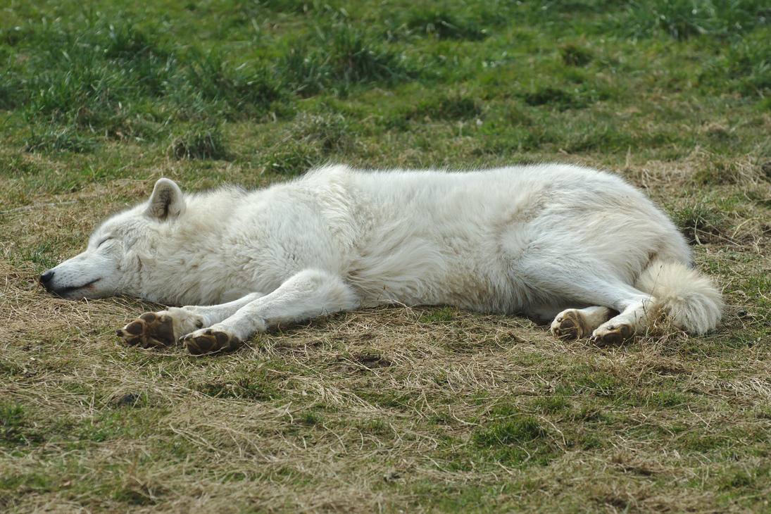 Sleeping Arctic Wolf Stock 20130401-2 by FurLined