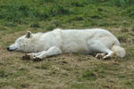 Sleeping Arctic Wolf Stock 20130401-2