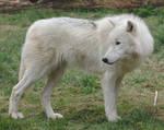 Standing Arctic Wolf Stock 20130401-1