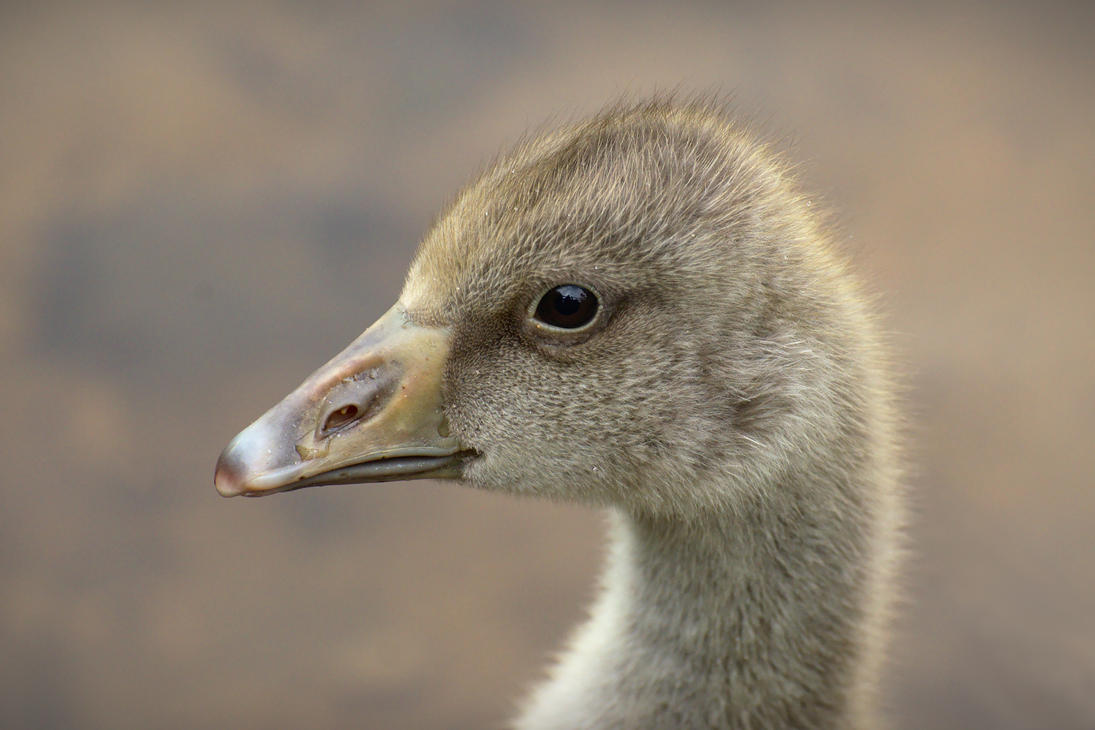 Gosling, Close-up by FurLined