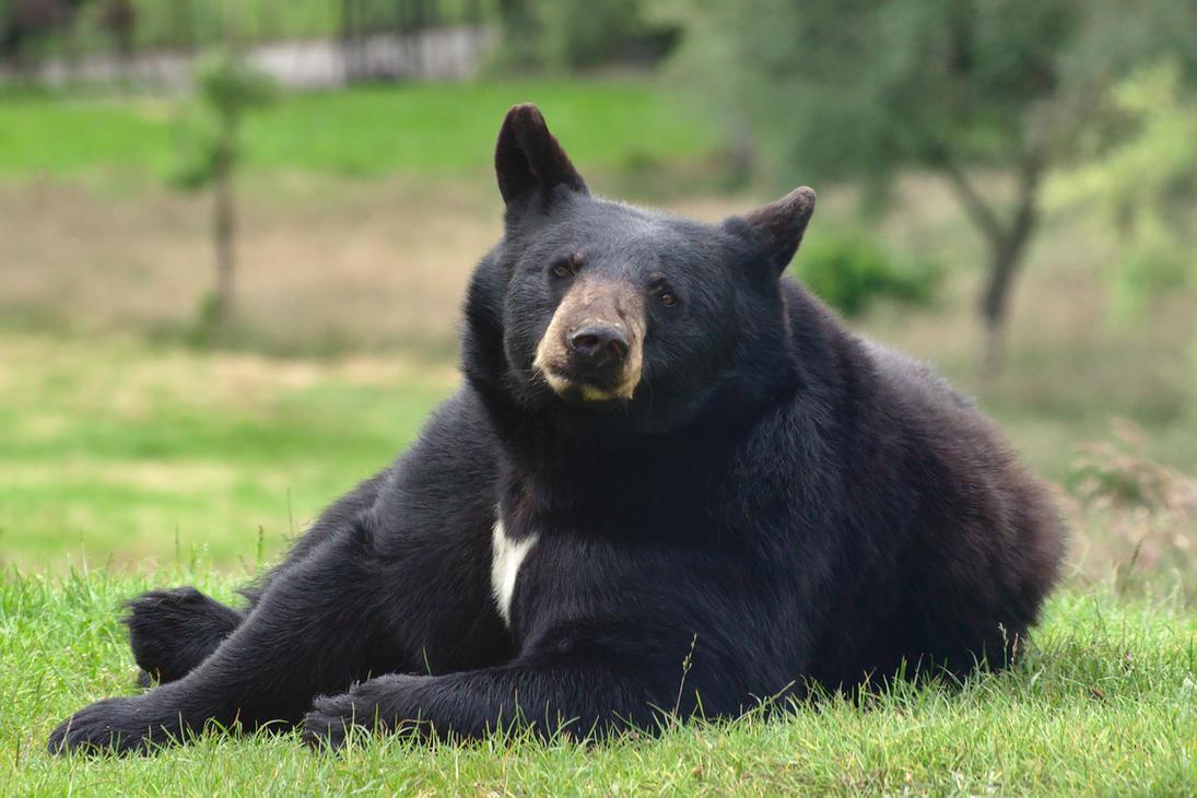 Black Bear 20160705-1 by FurLined