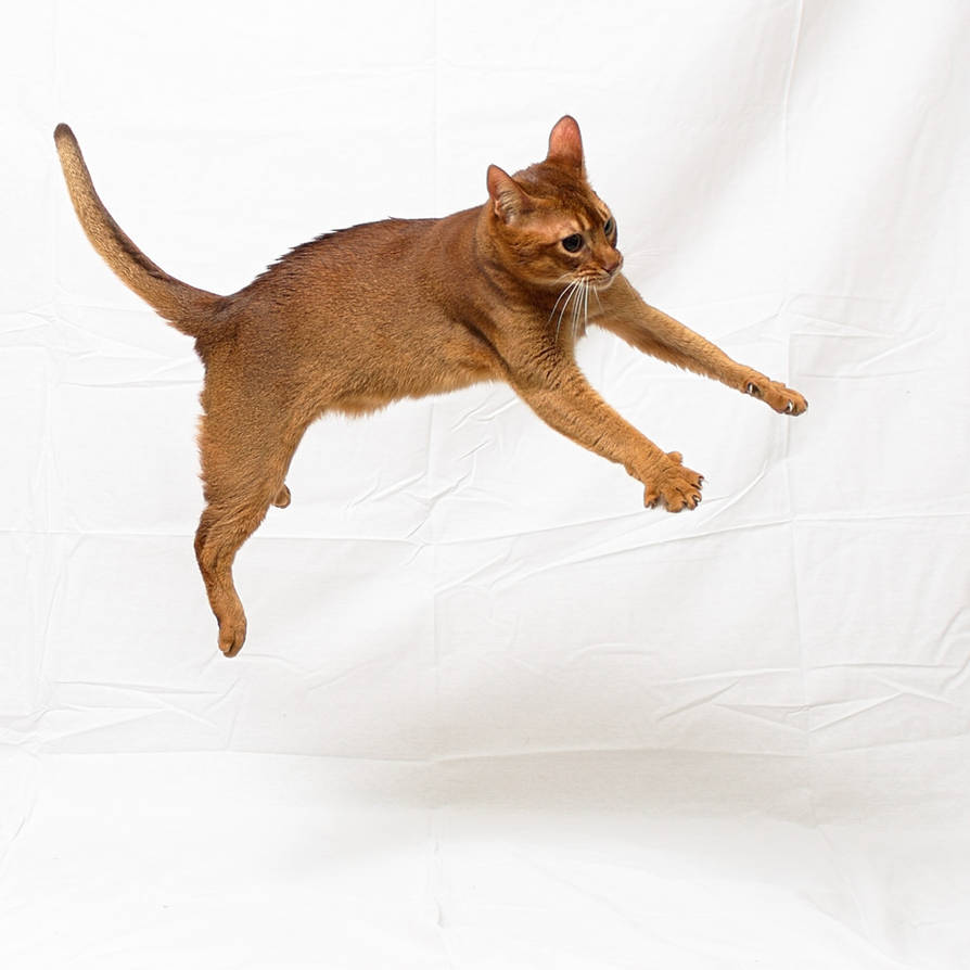 Jumping Abyssinian Cat Stock 20161113-1 by FurLined on