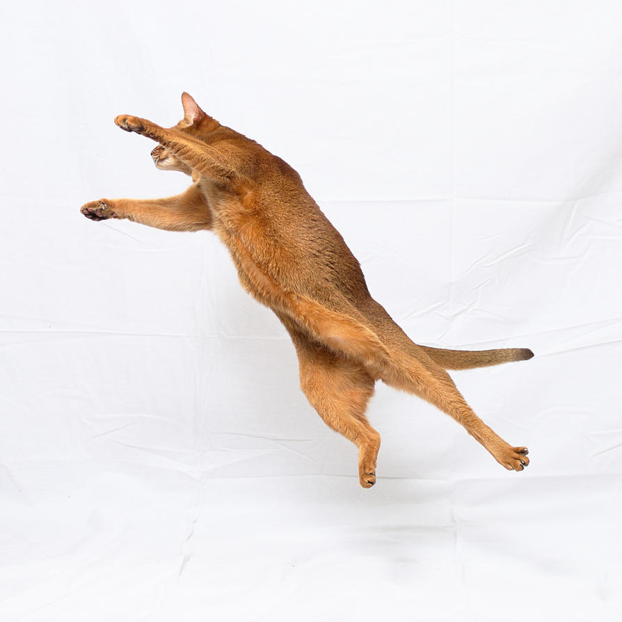 Jumping Abyssinian Cat Stock 20161113-2 by FurLined