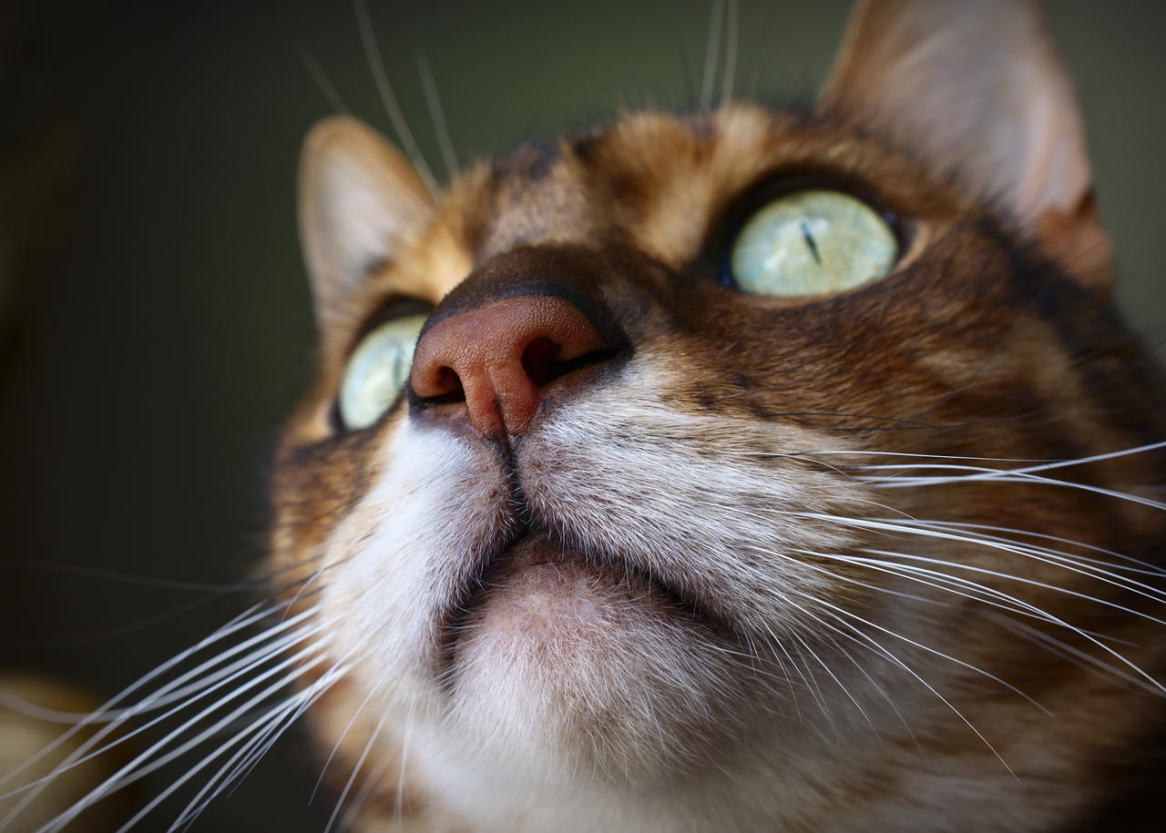Bengal Nose (and chin)