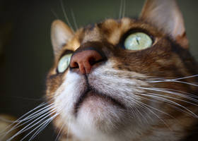 Bengal Nose (and chin) by FurLined