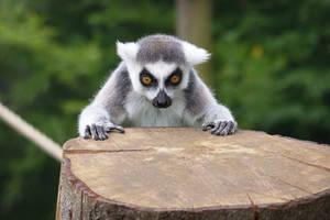 Staring Lemur Stock by FurLined