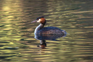 Great Crested Grebe by FurLined