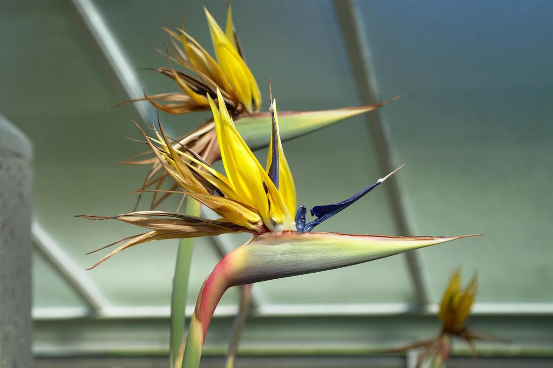Strelitzia reginae by FurLined