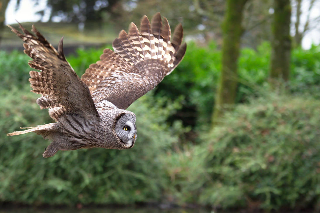 Great Grey Owl in Flight 20190308-1 by FurLined