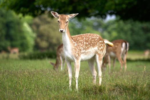 Fallow Deer - Doe