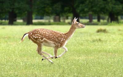 Running Fallow Deer Doe