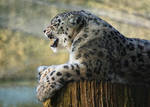 Snow Leopard by FurLined