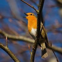 Robin, singing